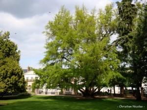 Un árbol de ginkgo